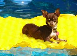 Alexanders Marlee smooth coat chocolate chihuahua