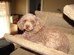Alexander Zoey chocolate poodle female