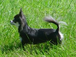 Woodland Lilly long coat black tan & white chihuahua female